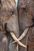 Two adult elephants Loxodonta africana interacting at Hapoor Dam in Addo Elephant National Park, South Africa