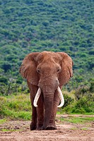 A large Elephant Bull  Loxodonta Africana  captured in Hapoor Dam in Addo Elephant National Park in South Africa
