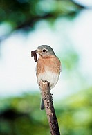 Female Eastern Bluebird (Sialia sialis) perched on stick with caterpillar