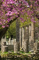 Springtime with the judas trees in bloom, looking towards the palaestra, at ancient Olympia, Peloponnese, Greece