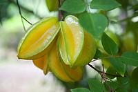 Starfruit, Ua Huka, Marquesas Island, French Polynesia