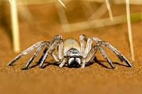 Dancing White Lady Spider - Wolwedans - NamibRand Nature Reserve - Hardap Region, Namibia, Africa