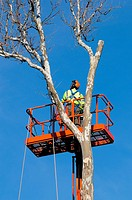 Tree service worker meticulously cutting down sycamore tree