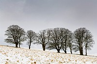 Beech trees stand in a field on North Hill in fresh snow near Priddy on the Mendip Hills, Somerset, England, United Kingdom