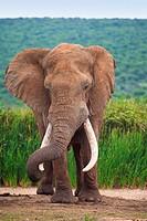 Large Bull Elephant Loxodonta Africana in Hapoor Dam in Addo Elephant National Park,South Africa