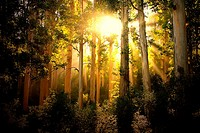 Afternoon Sun shines through gum trees in Table Mountain National Park in Cape Town, South Africa