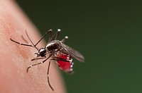 Female of the Asian Tiger Mosquito Aedes albopictus biting on human skin and bloodfeeding to generate a new egg batch  Invasive, potentially disease-c...
