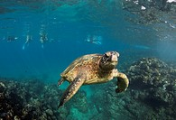 Green sea smiles for the camera with snorkelers behind at Black Rock, Ka´anapali, Maui, Hawaii
