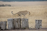 Cheetah on logs in the Masai Mara