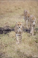 Cheetah family in the Masai Mara