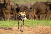 African Wild Dog Lycaon pictus with a herd of Buffalo in the background Hluhluwe-Imfolozi Game Reserve, Kwazulu-Natal, South Africa