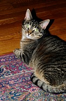Domestic tabby cat looking up