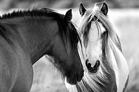 Two horses conferring, it appears that one is laughing at what the other has said, Staines Moor, Surrey, England, United Kingdom