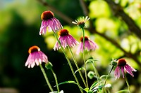 Echinacea purpurea, or purple coneflower