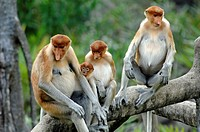 Proboscis Monkeys Family Group on Branches at Labuk Bay Proboscis Monkey Sanctuary Sabah Borneo Malaysia