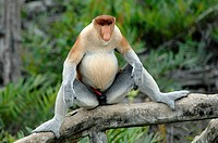 Proboscis Monkey Dominant Male Displaying his Masculinity Labuk Bay Proboscis Monkey Sanctuary Sabah Borneo Malaysia