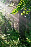 Sunbeam entering rich deciduous stand of Bialowieza Forest, Podlasie Province, Poland