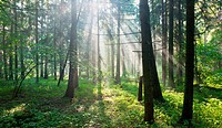 Sunbeam entering hornbeam deciduous forest, Bialowieza Forest, Podlasie Province, Poland