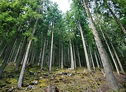 A coniferous forest in the Swiss Alps near Mount Rigi
