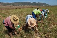Ecological agriculture, Onions, Navahermosa-Sierra de Yeguas, Malaga-province, Spain