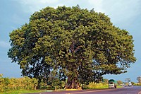 Ceiba, national tree of Guatemala, on Road CA-1