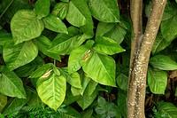Garden leaves, Guatemala City