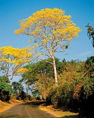 Palo Blanco trees yellow puoi in the region of Santa Rosa, Guatemala
