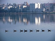 Geese swim in a straight line with a view of Oakland, California, Uniited States