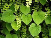 Green heart shaped leaves and ferns closeup