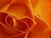 Orange rose flower closeup