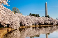 Blossoming cherry trees along the tidal basin with Washington Monument beyond, Washington DC, USA