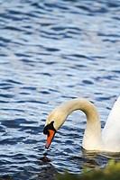 Swan in the lake Alster in Hamburg