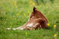 Chestnut foal resting in meadow,