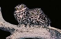 Little Owl, Athene noctua, Doñana National Park, Andalusia, Spain