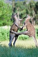 Australia, Victoria, Grampians National Park, halfway between the village of Halls Gap and Lake Bellfield near Fyans Creek. Eastern grey kangaroo (Mac...