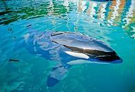 Orca, Miami, Florida