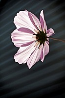 A Cosmo blossom full of sunlight with varied effects