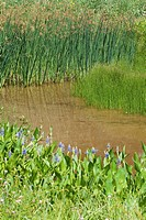 Blue bog plants in bloom by a pond