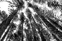 Pine, Pinus sylvestris, Teruel, Aragon, Spain.