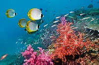 Panda butterflyfish Chaetodon adiergastos over coral reef  Andaman Sea, Thailand