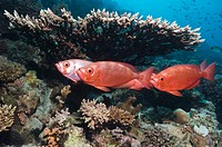 Big-eye or Goggle-eye Priacanthus hamrur  They can change colour from silver to deep red  Egypt, Red Sea
