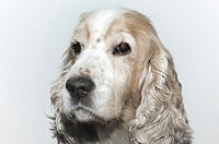 Headshot on a cocker spaniel dog