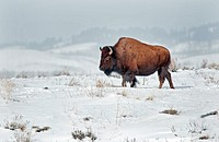 Tetons, American Bison in winter snow near the Gros Ventre River at Grand Teton National Park in northern Wyoming