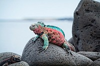 Christmas Iguana, Galapagos Islands.