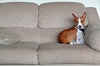 Basenji resting on sofa
