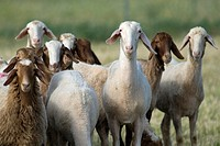 Sheep, Ovis orientalis aries.