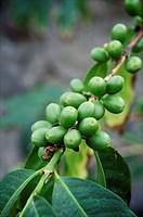 Coffee beans, Finca de las Lajas, Agaete, Gran Canaria, Canary Island, Spain