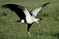 Some insect in grass has caught the attention of this Secretary bird