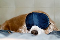 Cocker spaniel dog sleeping with a sleep mask