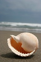 Close-up of a conch shell at a peruvian beach  Beautiful Details and texture